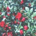 image flowers_hr_0014-jpg
